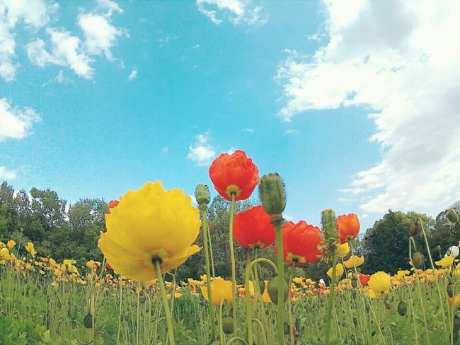 poppy🌼🌼🌼 Poppy Flower 花 万博記念公園 ポピーフェスタ カメラ女子 カメラ好き 写真好き