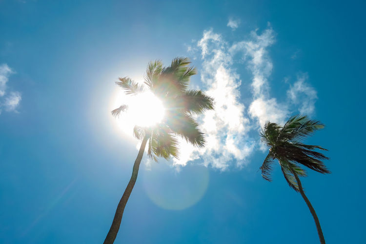 Coconut trees and the Sun strong Back Lit Beauty In Nature Blue Cloud - Sky Day Growth Lens Flare Low Angle View Nature No People Outdoors Palm Tree Sky Sun Sunbeam Sunlight Tree Treetop Sommergefühle