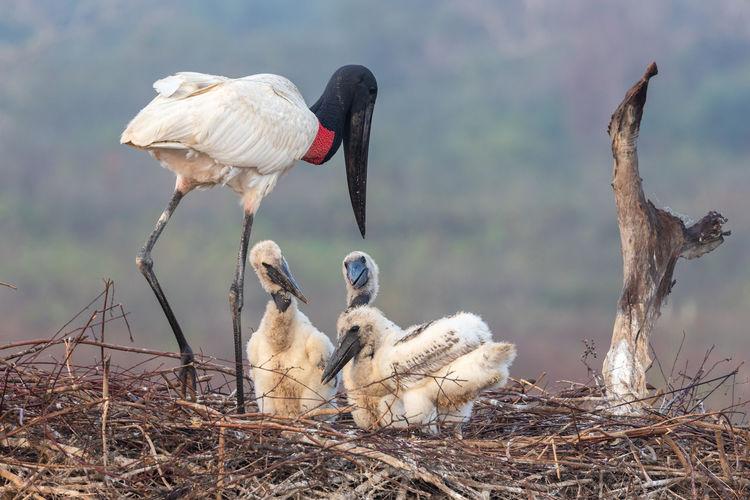 Close-up of jabiru stork in nest
