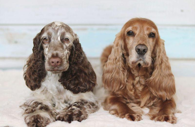 Rocky & Stella. ❤ Cockerspaniel Cockerspanielworld Dog Liverroan Gold EyeEm Selects
