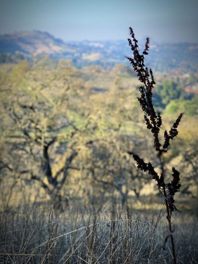"""""""Last Stand Before Winter"""" A withering stem makes a last stand before Winter's doom against a backdrop of California Oaks in a suburban open space. Oak Tree California Oak Tree Winter Plant Growth Nature No People Focus On Foreground Close-up Dry"""