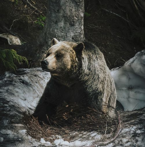 Grizzly bear sitting in the snow in a forest
