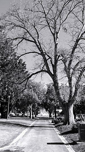 Geelong Tree Road Tree Trunk Nature Branch Outdoors Blackandwhite Blackandwhite Photography Blackandwhitephoto Silouhette