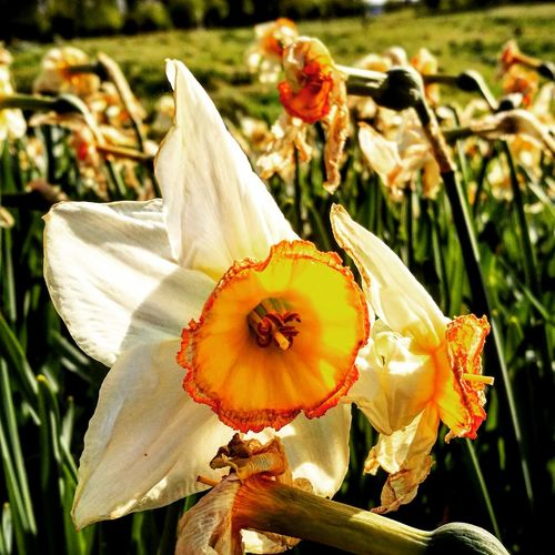 Flower Nature Flower Head Growth Petal Fragility Plant Beauty In Nature Close-up Outdoors Day Focus On Foreground No People Freshness EyeEmNewHere EyeEm Gallery EyeEm EyeEmBestPics Flower Collection EyeEm Best Shots Seen Better Days Dying Daffodils Daffodils Flowers Perspectives On Nature