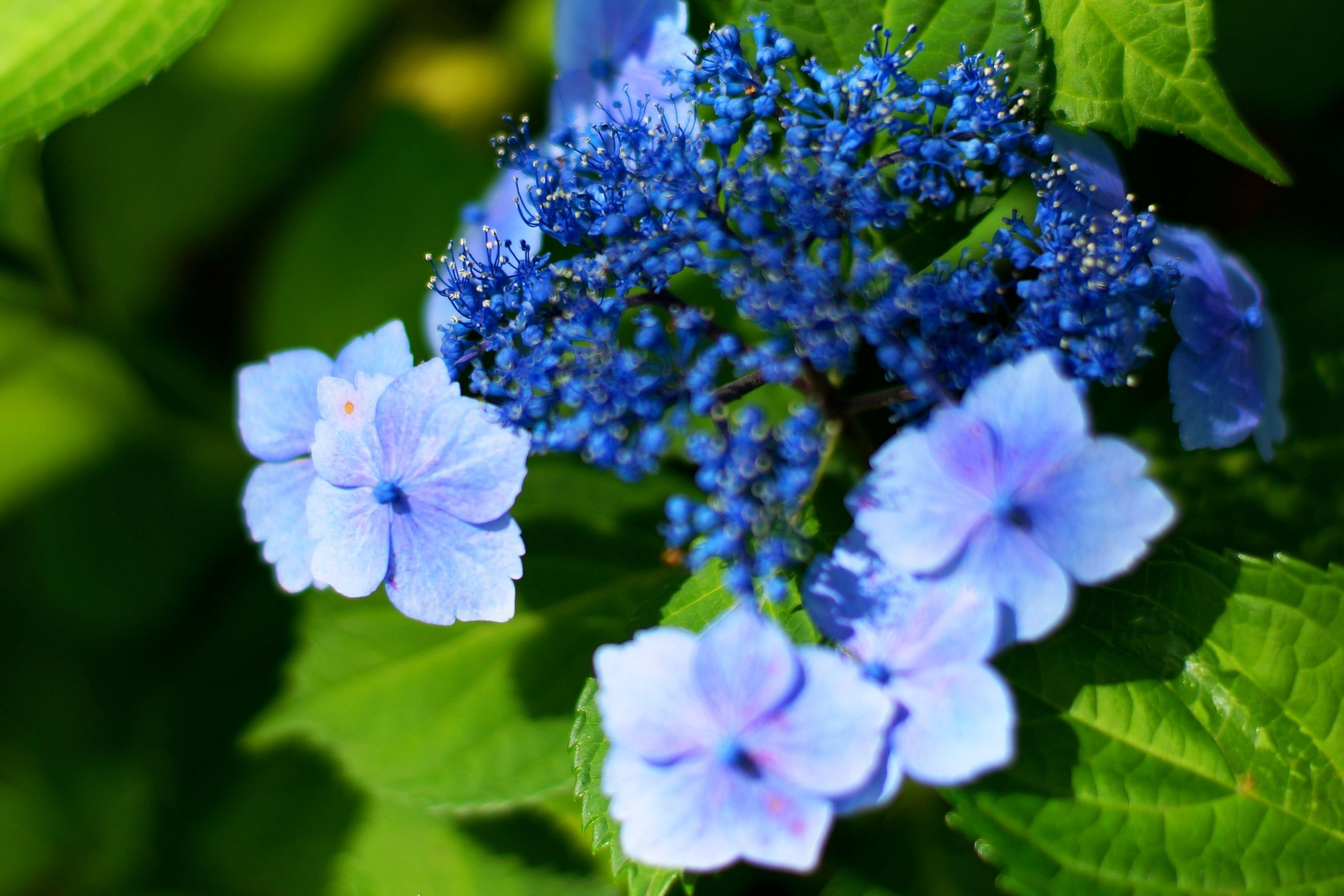 flower, freshness, purple, fragility, growth, petal, flower head, beauty in nature, close-up, focus on foreground, nature, blooming, hydrangea, plant, leaf, blue, in bloom, park - man made space, blossom, day