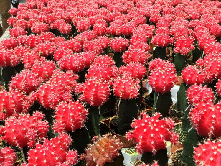 Abundance Beauty In Nature Blossom Botany Flower Flower Head Fragility Full Frame Multi Colored Pink Color Plant Red Spike Flower
