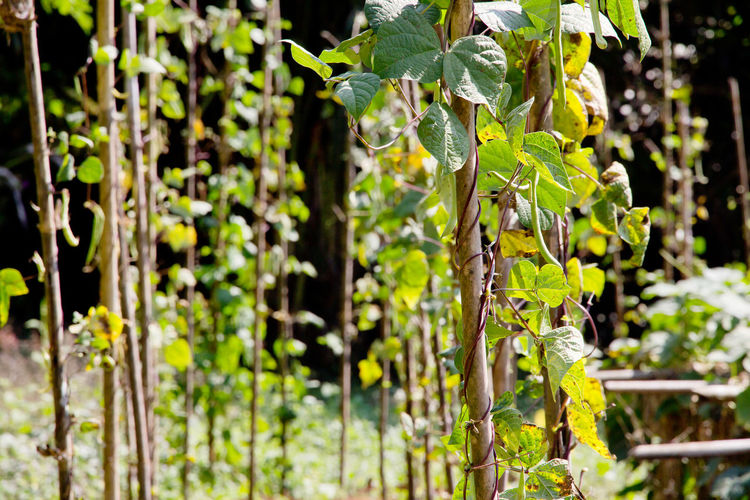 string bean in the garden String Bean Beauty In Nature Close-up Day Farming Focus On Foreground Fragility Freshness Green Color Growth Leaf Nature No People Outdoors Plant Sunlight Tree Vegetable Vegetable Garden Vineyard