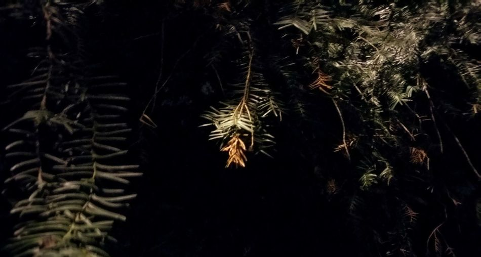Tree Pine Tree Pinaceae Nature Branch Forest Winter Needle - Plant Part Beauty In Nature No People Outdoors Growth Coniferous Tree Night Backgrounds Illuminated Close-up Christmas Decoration Christmas Snowflake