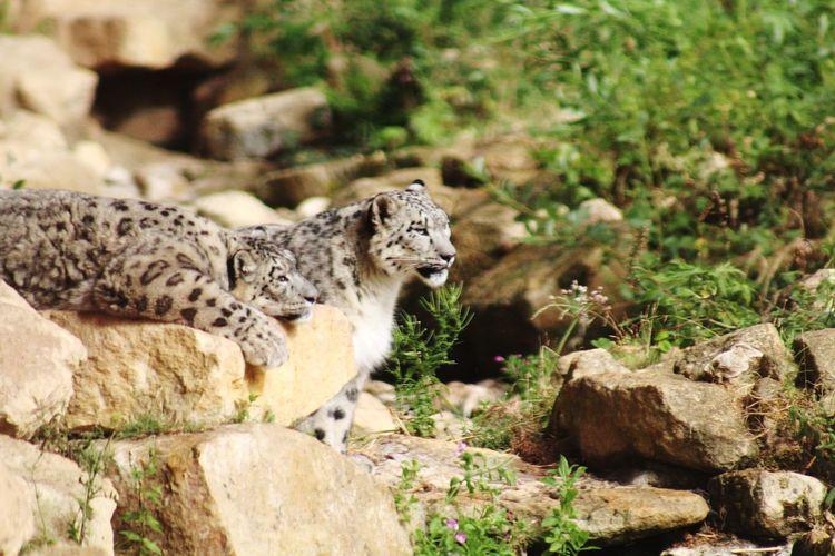 2 snow leopards