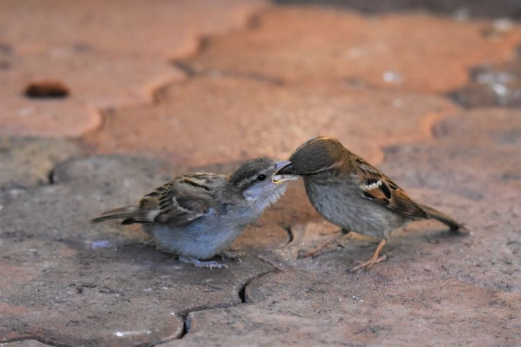 Sparrow feeding chick