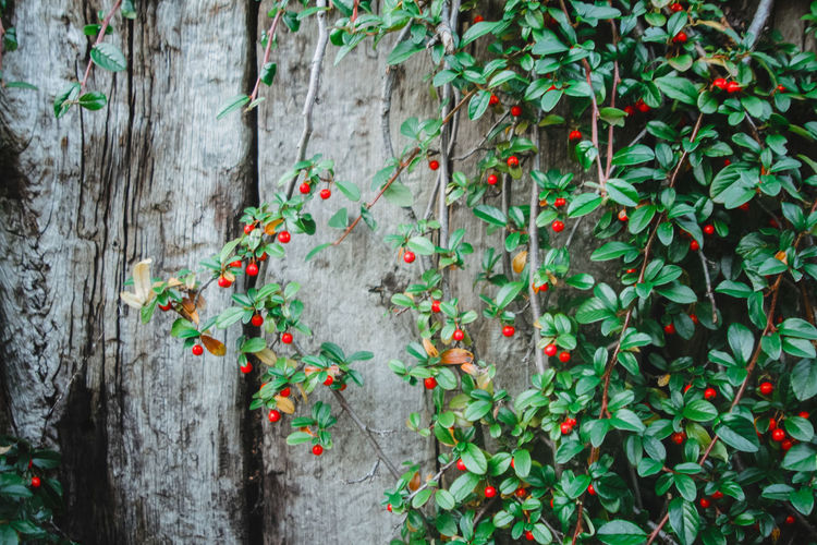 Close-up view of cotoneaster growing on tree trunk wall. evergreen borber plant. outdoor gardening.