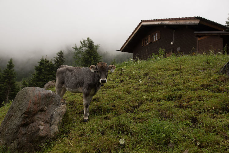 Calf Standing By Rock On Grassy Field