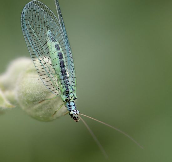 Close-up of lacewing