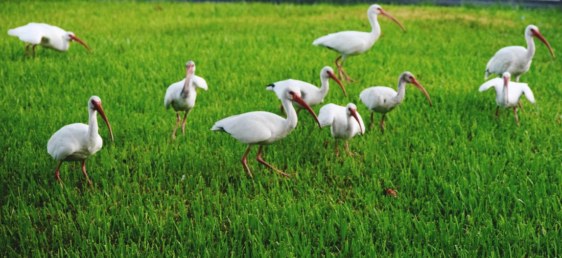 White birds on field