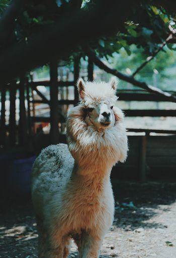 Alpaca standing on land