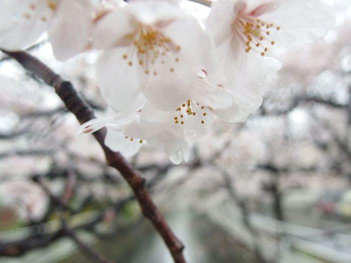 さくら 桜 Rain OLYMPUS XZ-2