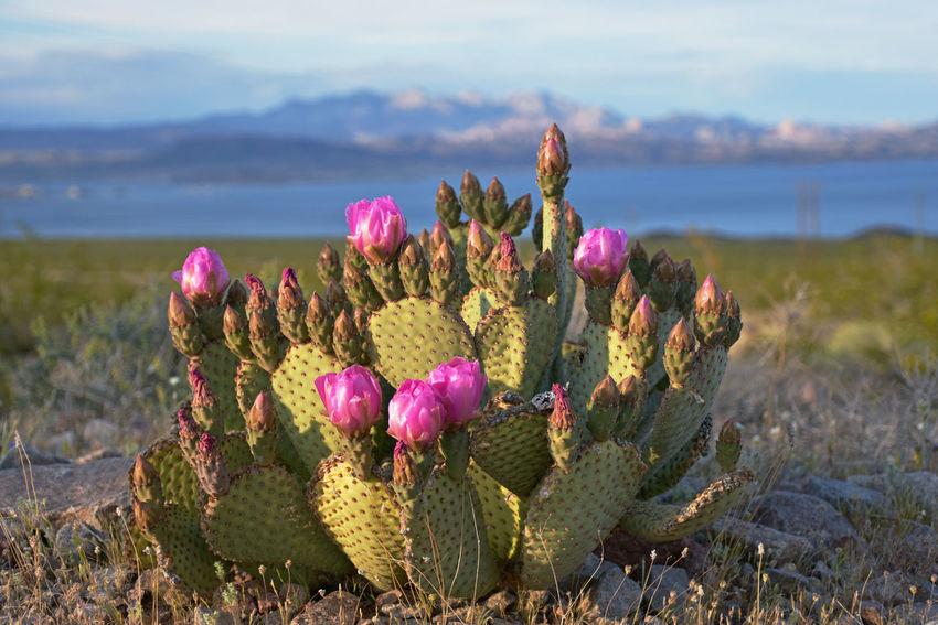 A beavertail cactus in bloom at Lake Mead National Recreation Area near Las Vegas, NV Cactus Desert EyeEmNewHere Lake Mead National Recreation Area Flower Lake Landscape Mountain Nevada