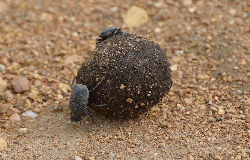 Dung beetle in