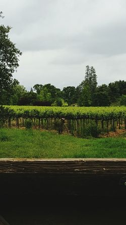 Vineyard Greenery Vines Wine Tasting Wineyard Winelands Modesto Photographer