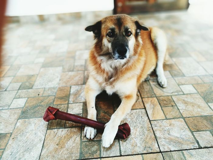 Portrait of dog sitting while playing on tiled floor