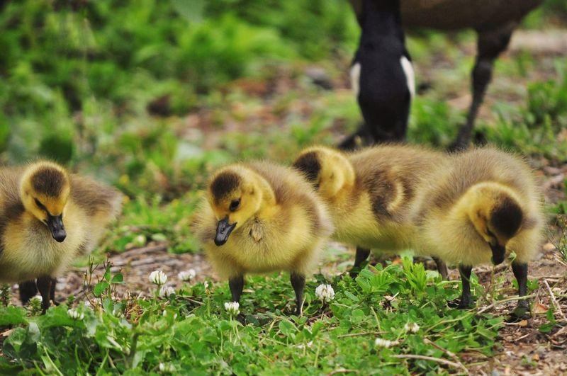 Goslings in a field
