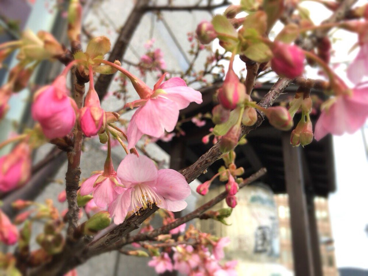 flower, growth, tree, fragility, beauty in nature, pink color, freshness, nature, no people, petal, day, blossom, springtime, outdoors, branch, close-up, focus on foreground, blooming, flower head