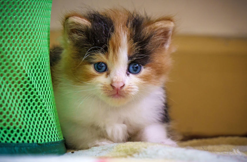 small kitten, multicolored fur Animal Themes Day Domestic Animals Domestic Cat Feline Indoors  Kitten Mammal No People One Animal Pets Portrait Whisker