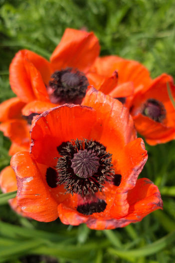 Beauty In Nature Blooming Close-up Day Flower Flower Head Fragility Freshness Growth Nature No People Orange Color Outdoors Petal Plant Poppy Vibrant Color