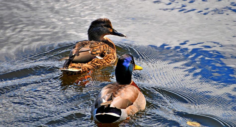 High angle view of mallard ducks swimming on lake