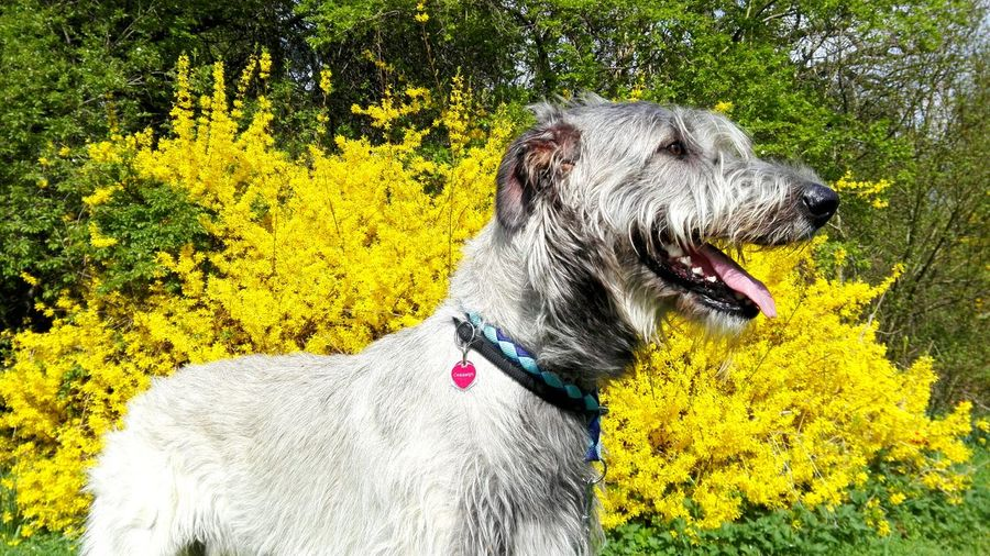 Taking Photos Check This Out Cheese! Enjoying Life Yellow Explosion Spring Has Arrived April2016 Spring! Spring 2016 The Places I've Been Today Things I Like Yellow Cearnaigh My Dogs Are Cooler Than Your Kids Dogs Of EyeEm Irish Wolfhound Dogslife Dog Walking A Walk In The Park Dog Of The Day Pets Corner Enjoying Life Forsythia Dog❤ Dog Of The Day