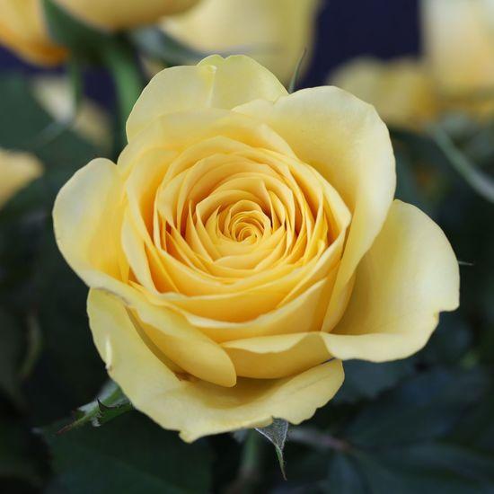 Close-up of yellow rose