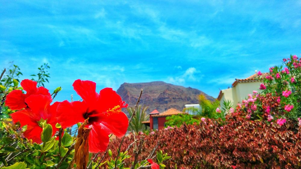Flower Nature Plant Red Outdoors Mountain Beauty In Nature Field No People Scenics Day Rural Scene Landscape Poppy Growth Flower Head f Flowers,Plants & Garden Tree tree Sky Freshness Canary Islands Colors Color Flowers