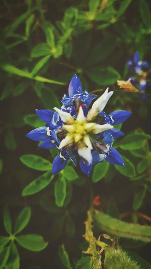Texas state flower Bluebonnet Wildflowers Nature_collection Flower Collection Androidography Flower Photography