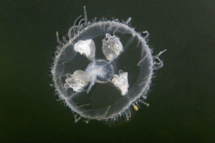 Craspedacusta sowerbii, a freshwater jellyfish from soderica lake, croatia