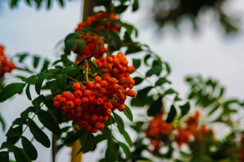 Nature Fruit Growth Red Freshness Plant No People