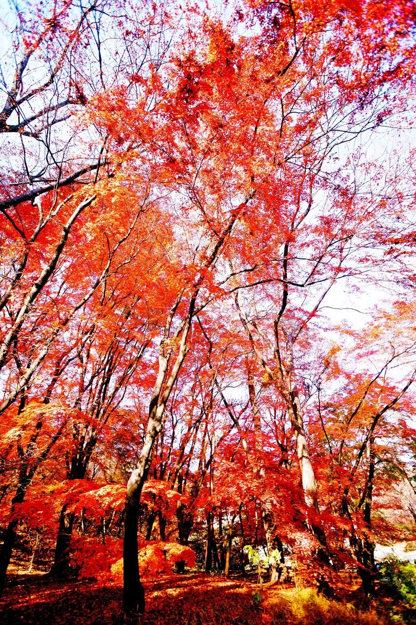 autumn, tree, change, nature, beauty in nature, branch, tranquility, orange color, tranquil scene, scenics, no people, leaf, outdoors, day, growth, maple tree, red, low angle view, sky, maple