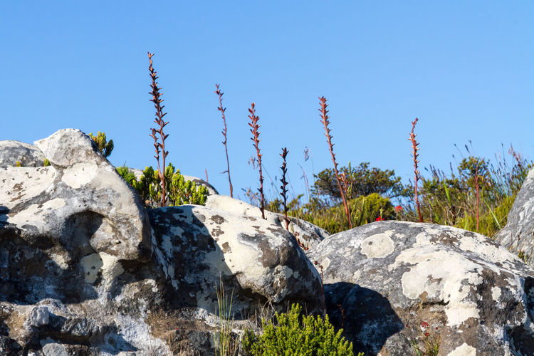Plants and Rocks on Table Mountain Beauty In Nature Blue Blue Sky Capetown Clear Sky Clear Sky Day Hiking Landscape Looking Up Low Angle View Mountain Mountain Range Nature No People Outdoors Plants Rock - Object Scenics Sky South Sunlight Table Mountain Tranquility Travel Destinations