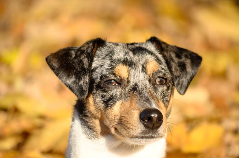 Hund Jack Russell Pets Dog