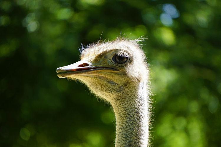 Portrait of a female ostrich
