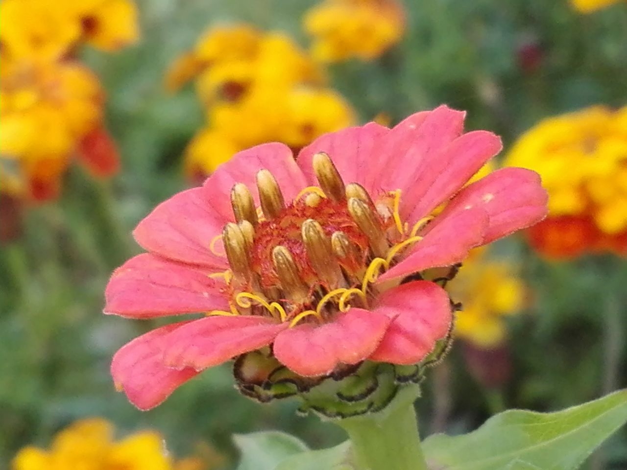 flower, petal, flower head, growth, nature, fragility, plant, beauty in nature, freshness, focus on foreground, blooming, close-up, pollen, day, outdoors, no people, pink color, zinnia