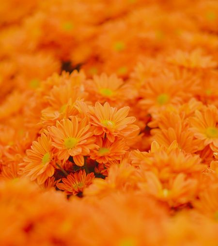 orange chrysanthemum Flower Flowering Plant Plant Freshness Beauty In Nature Fragility Close-up Pollen Chrysanthemum Selective Focus Growth Flower Head Full Frame No People Vulnerability  Petal Orange Color Nature Inflorescence Yellow