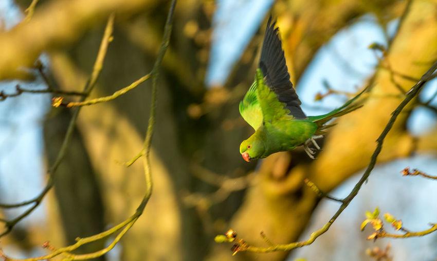 Budgerigar flying amidst twigs