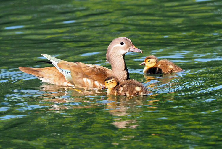 Female Mandarin duck and her ducklings Animal Themes Animal Wildlife Animals In The Wild Bird Birds Day Duck Family Duck With Ducklings Dusk Family Female Mandarin Duck Lake Mandarin Duck Family Mandarin Ducks Nature No People Outdoors Proud Parents Springtime Swimming Water Water Bird Waterfowl