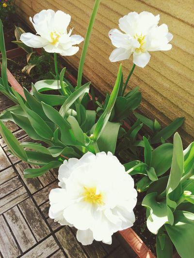 Tulips🌷 Tulips White Spring Flowers Nature Belanda White Flower Spring Shapes In Nature  Funny