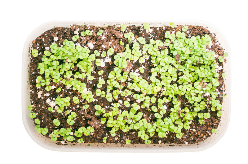broccoli microgreen shoots being grown isolated on white background White Background Food Studio Shot Green Color Directly Above Healthy Eating Freshness Wellbeing Indoors  Vegetable Plant Growth Seed Organic Vegetarian Food Ready-to-eat Vegan Minerals Vitamins Broccoli Pot Soil Edible  Ingredient Gardening