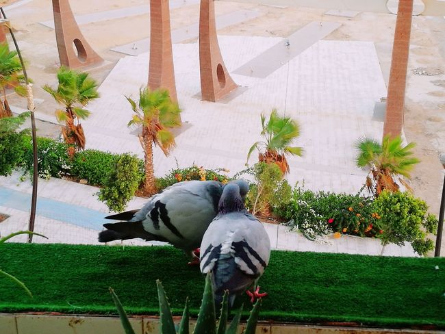 Pigeons Pigeon Bird  Pigeons Everywhere Animal Themes Kisses❌⭕❌⭕ Kisses ♥ Kiss Me Baby ❤ Laayoune Laayounemorocco