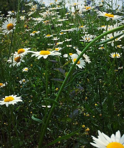Daisy Meadow Summer Naturelovers Fun Photography Wildflowers In Bloom Daisy Meadow Daisy Nature Outdoor Photography