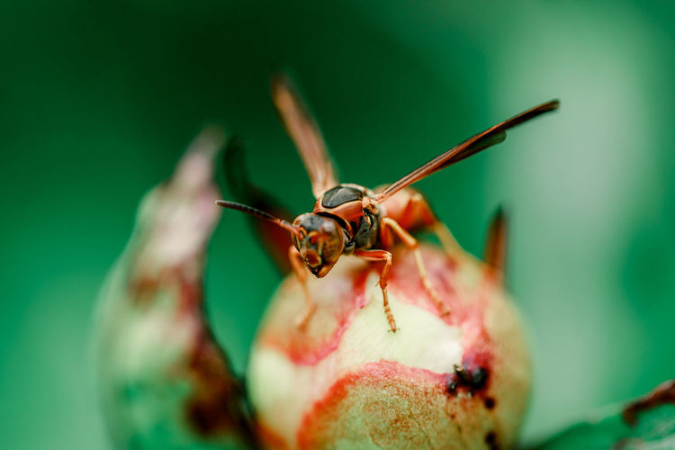 Insect on the peony flower. closeup or macro insect.