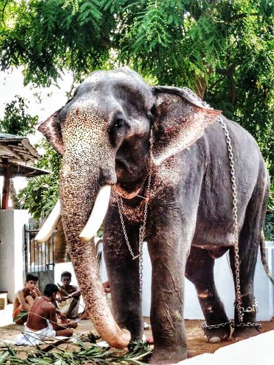 Elephant has an important role in the festivals of Kerala. Elephant Indian Elephant Mammal Animal Trunk Day Outdoors Tree Water Animal Themes Nature Adult People Big is beautiful EyeEm Nature Lover Elégance Sunlight Nature Full Frame Happiness Freshness Togetherness