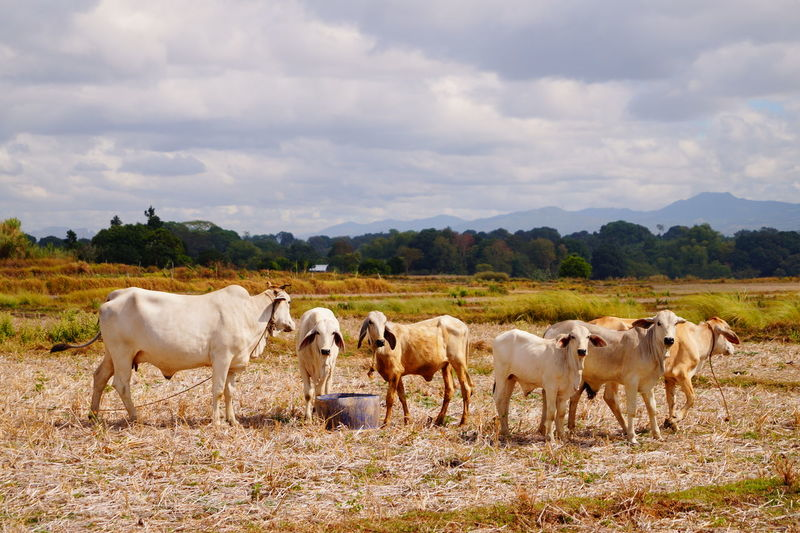 Cows Cows In A Field Sky Cloud - Sky Crowd Mammal Aniamls Animal Themes Wildlife Ground Animal Domestic Animals No People Cattle Landscape Domestic Group Of Animals Pets Land Nature Field Agriculture Cow Day Herd